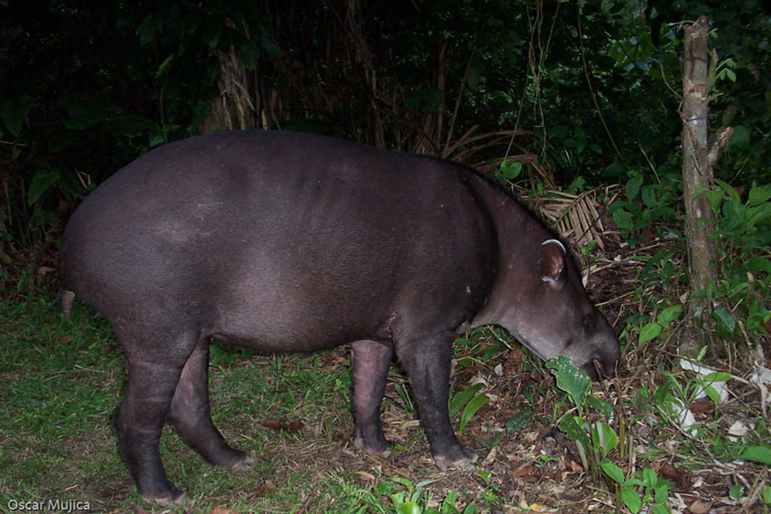 Tapirs in Peru - Andean Spirit Destinations