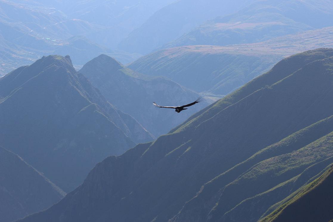 Condor Soaring - Andean Spirit
