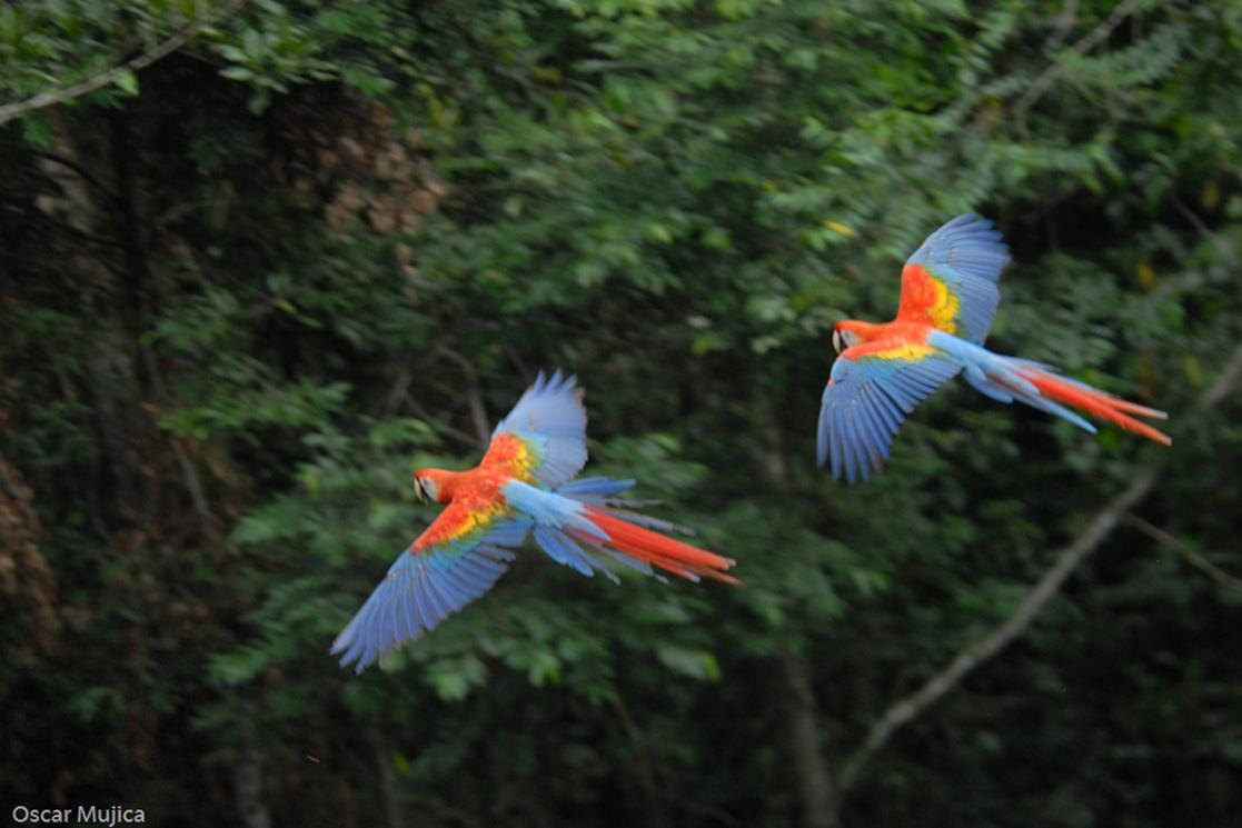 Scarlet Macaws - Andean Spirit Destinations