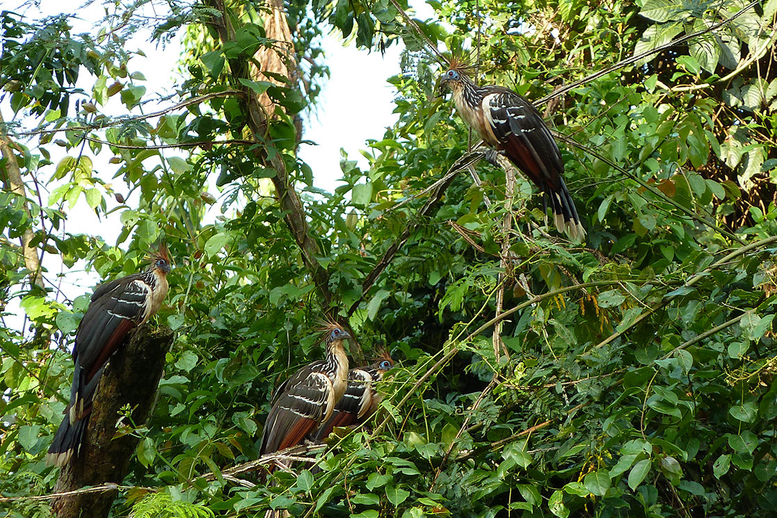 A Hoatzin - Andean Spirit Destination