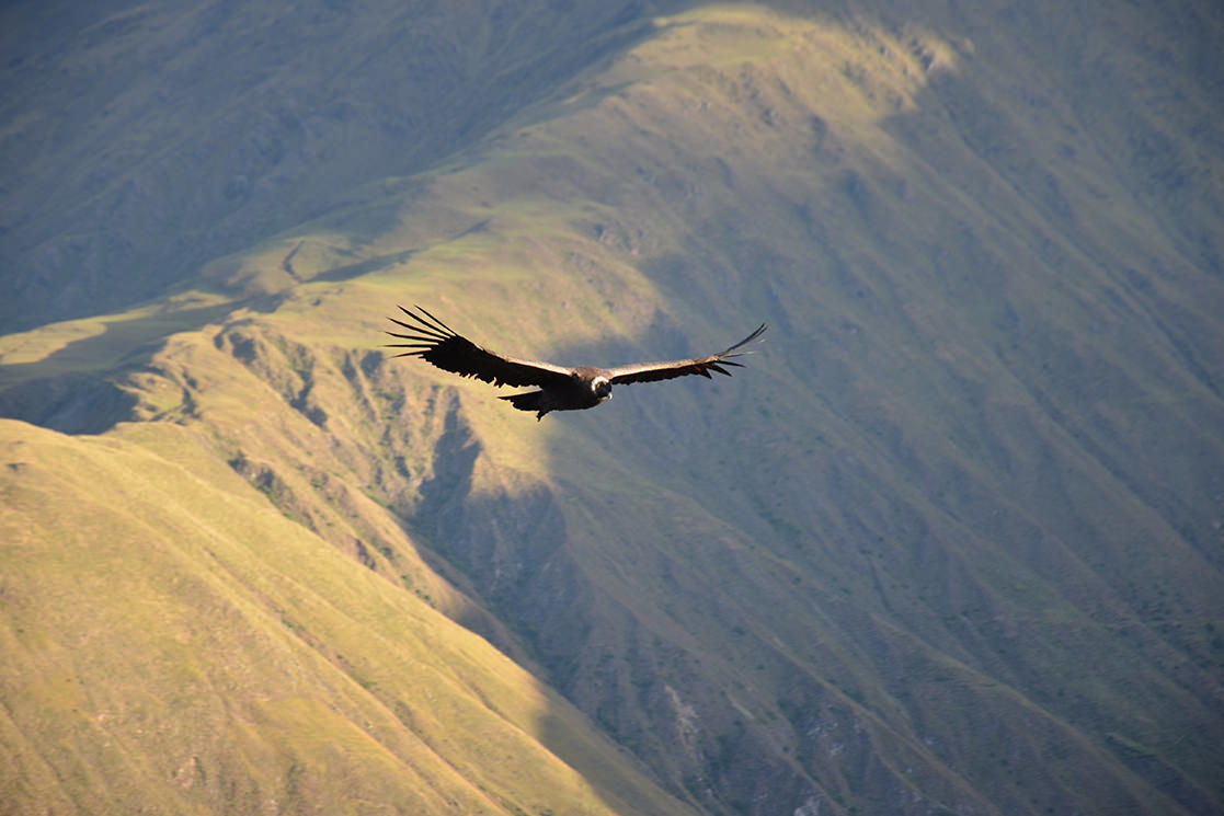 Andean Condor - Andean Spirit Destinations