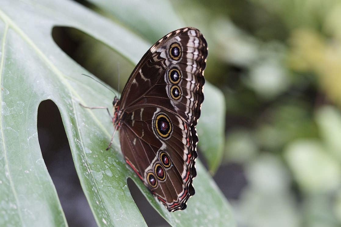 Morpho Butterfly - Andean Spirit Destinations