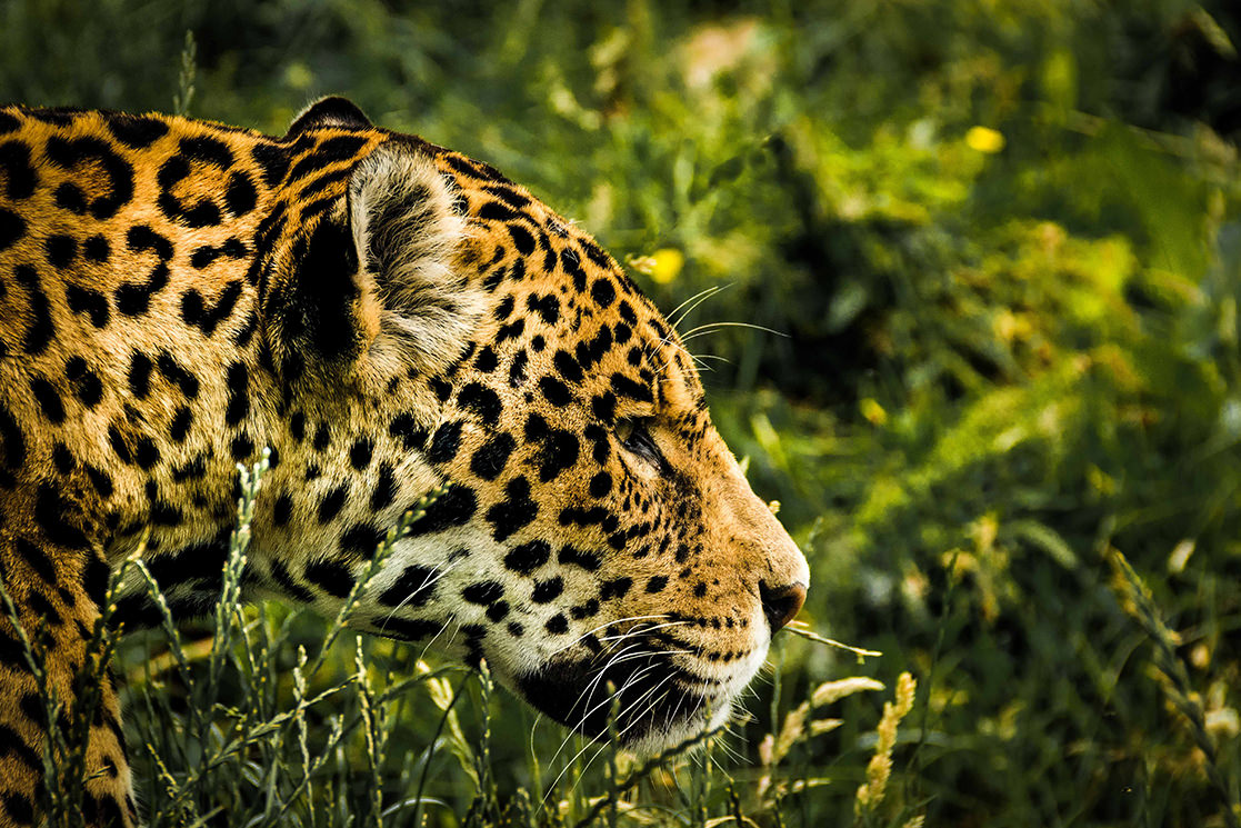 Jaguar - Andean Spirit Destinations
