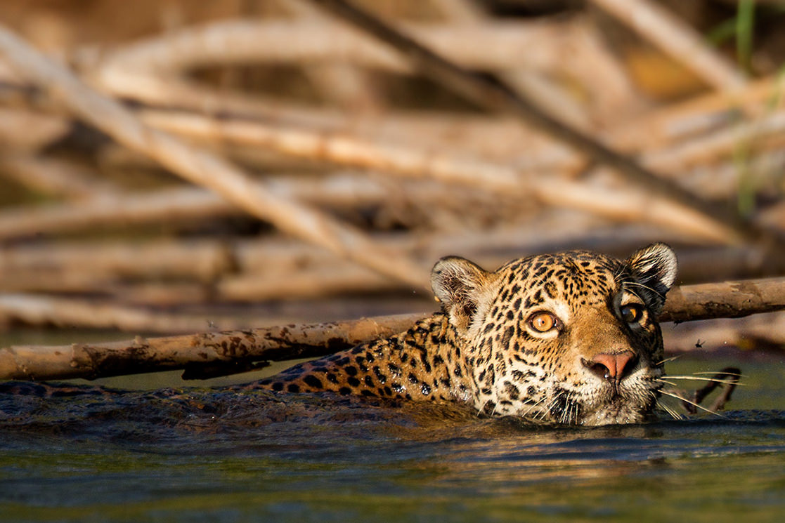 Jaguar in the River - Andean Spirit Destinations