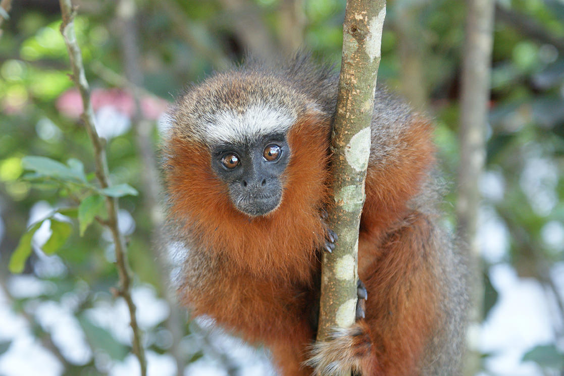 Dusky Titi Monkey - Andean Spirit Destinations