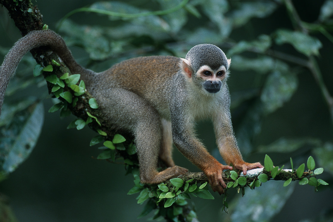Squirrel Monkey - Andean Spirit