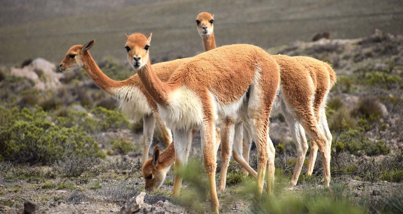 Vicunas of Peru - Andean Spirit Destinations