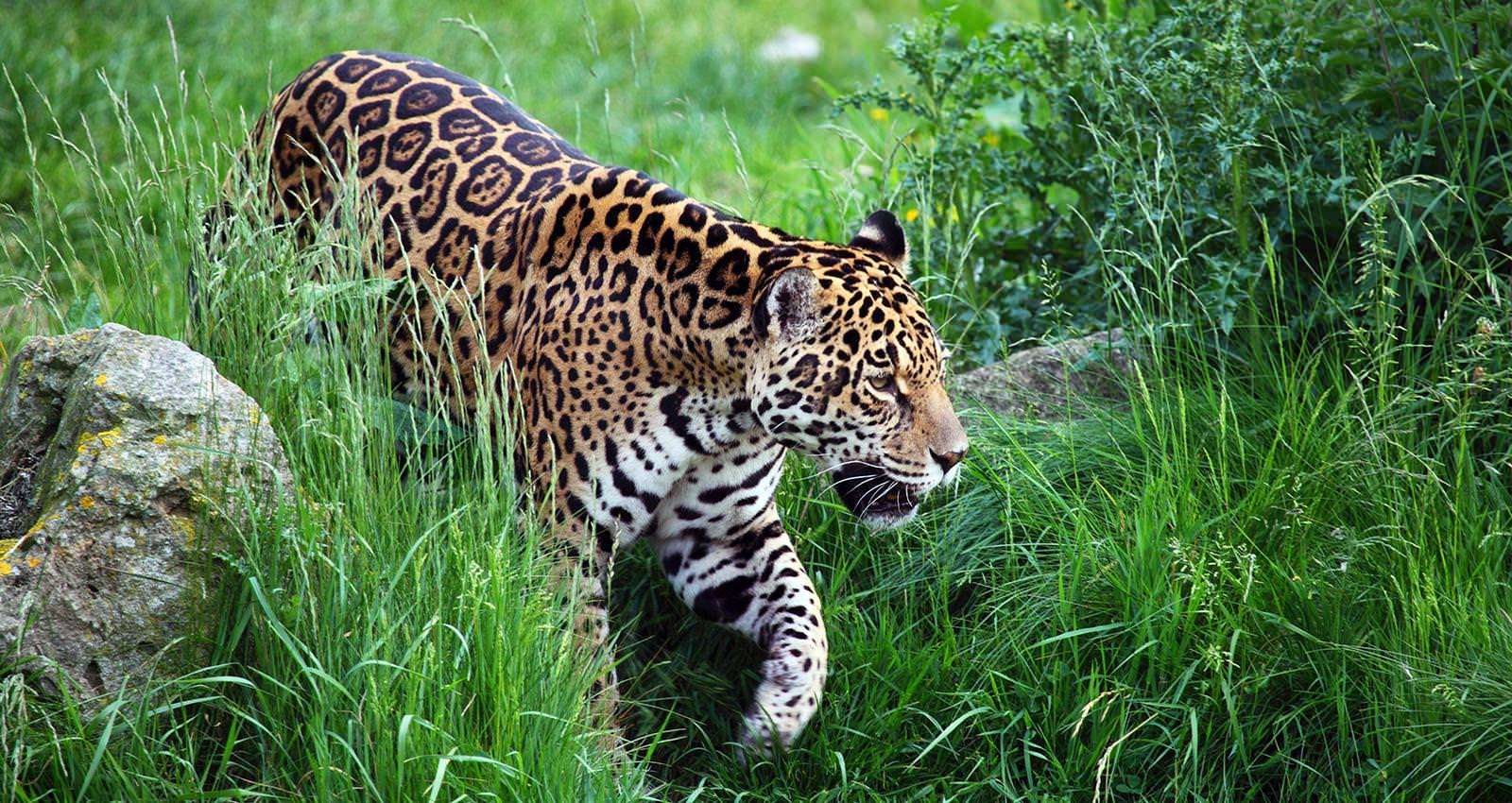 The Jaguars of Peru - Andean Spirit